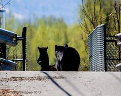 A sow and her two cubs cross a bridge by Cottonwood Park, near Fort Richardson, in the Anchorage area! Thanks to Jake Dalzell for the adorable spring-bear photo!