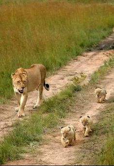 Lioness takes a walk with her cubs