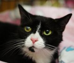 Chola is an adoptable Tuxedo Cat in New York, NY. Chola is a small tuxedo that had the misfortune to suffer an eye infection after leaving the shelter. Her right eye has a scar that does not cause her...