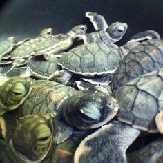 #turtle #babyturtle #sangalaki #sangalakiisland #triptoborneo #kalimantan #turtlefactory #incrediblelife