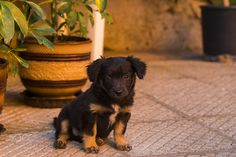 Little black puppy sitting and looking at camera - Exhausted little black puppy looking tired at the camera Black Puppy, Puppy Sitting, Photography Portfolio, Exhausted, Tired, Puppies, Dogs, Animals, Cubs