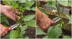 A kezdő kertészkedők nagyrésze úgy gondolja, hogy csak a paradicsomtöveket kell visszacsípni, ahhoz, hogy bőséges és szép legyen a termés, azonban ugyanez igaz a paprikára is.         Most megmutatjuk, mit kell tenned 3 lépésben ahhoz, hogy Home Vegetable Garden, Home And Garden, Pruning Shears, Medicinal Plants, Good To Know, Garden Tools, Vegetables, Gardening, Mai