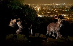 Stunning Photograph of City-Dwelling Leopards Shows Us Just How Amazing Urban Wildlife Can Be