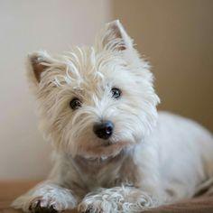 Dreamer the pesky Westie Highlands Terrier, West Highland Terrier, Cute Puppies, Cute Dogs, Animals And Pets, Cute Animals, West Highland White, White Terrier, Westies