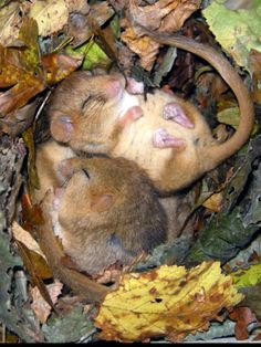 A snooze of dormice. [The dormouse is a rodent of the family Gliridae. Dormice are mostly found in Europe, although some live in Africa and Asia. They are particularly known for their long periods of hibernation. Wikipedia Scientific name: Gliridae Hibernation period: 182.6 d Mass: 0.015 – 0.18 kg (Adult) Gestation period: 22 – 24 d]