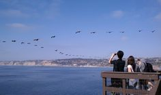 Guests enjoying a 'squadron' of brown pelicans pass by at La Jolla Cove. La Jolla Cove, San Diego, Tours, Mountains, Brown, Nature, Travel, Naturaleza, Brown Colors
