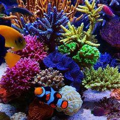 @charlie_bel tank is for real and its seriously awesome! #polyplab . . . #coral #reeftank #coralreeftank #reef #reefpack #reef2reef #reefcandy #reefersdaily #reefrEVOLution #coralreef #coraladdict #reefaholiks #reefjunkie #reeflife #instareef  #allmymoneygoestocoral #instareef  #reefpackworldwide #ilovemyreef #rarecorals #reefing #exoticcorals #reefporn #reeferdise #reefers4reefers #coralporn #aquarium #polyplab