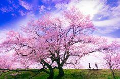 桜の花は、新しい季節とともに、様々な出会いと別れを連れてくる。  この春、新スタートを切るすべての人にエールを!