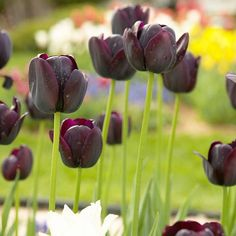 Add dark hues to your garden with moody Queen of the Night tulips!
