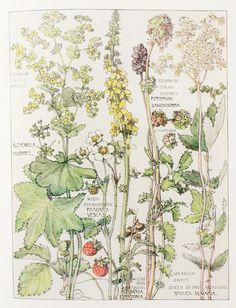 Rose Family Botanical Print, 1910, by Harriet Isabel Adams (1863-1952)