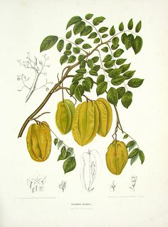 Averrhoa Bilimbi (star fruit) - Berthe Hoola van Nooten Tropical Prints 1863