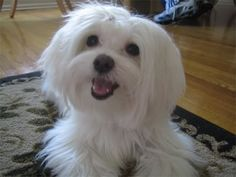 Puppy cut? - Maltese Dogs Forum : Spoiled Maltese Forums