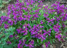 Lathyrus vernus -Spring Vetch, Everlasting perennial sweet pea. Small shrubby perennial that can act ephemeral. Non-fragrant. Have this in drk purple and pink. z5+