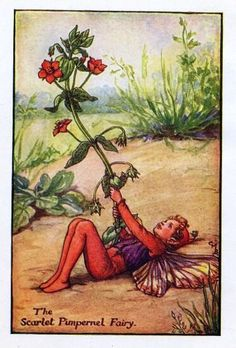 The SCARLET PIMPERNEL Fairy ~ Cicely Mary Barker ~
