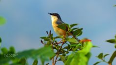 Ashy Prinia - Thanks for viewing.