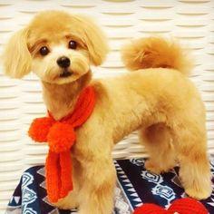 トリミングいってきました💓うちの子どうしても眉毛ができるのなんで。🐶w  #dog#dogstagram #dogs#instadog#toypoodle #pomeranian #instagood #犬#犬バカ部#トイプードル#ポメラニアン#ポメプー#ミックス犬#愛犬#パピー