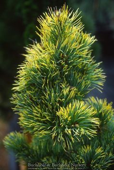 Pinus parviflora ' Goldilocks ' Variegated Dwarf Japanese White Pine. Great coloring and size on thisdwarf evergreen conifer. Twisted needles with bright golden tips with some of the plant having blu