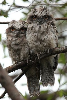 Tawny Frogmouths. New South Wales, Australia by notnikkibennett via Flickr Repinned by www.wordpress.sailorstales.com
