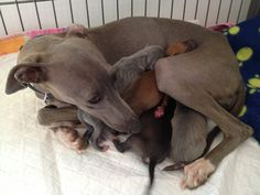 Italian greyhound family <3