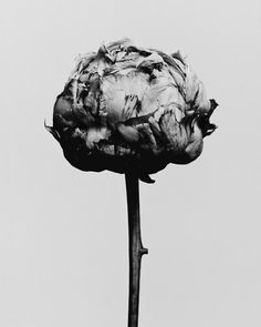peony  Decaying flower was shot by Billy Kidd.