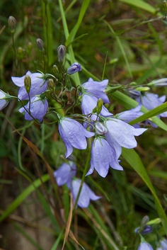 Common Harebell (these grow wild where I live - a cottage in the woods)