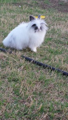 My lion head rabbit playing outside
