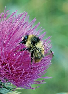 Threatened - The Shrill Carder Bumblebee have declined by 75% between 1970-90 and in 1990-2000 by loss of unimproved flower-rich grassland in the UK.