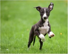 Awww its looks like Rogue when he was a puppy!  Whippets make the best companions!