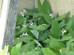 White coral bells upon a slender stalk....