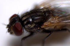 Animals in Ankara, Turkey (fly macro) - a photo by İbrahim ÜRÜKER