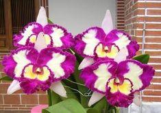 "BLC Chinese Beauty Orchid Queen AM AOS | Blc.Chinese Beauty ""Orchid Queen"" (STOCK LIMITADO) | Flickr - Photo ..."