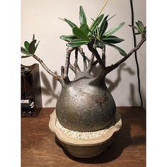 Pachypodium rosulatum gracilius