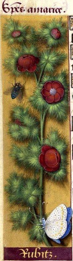 Rubitz - Species amarice (Adonis æstivalis L. = goutte de sang) -- Grandes Heures d'Anne de Bretagne, BNF, Ms Latin 9474, 1503-1508, f°41v