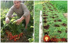 Všetko, čo potrebujete vedieť o pestovaní jahôd. Plants, Garden