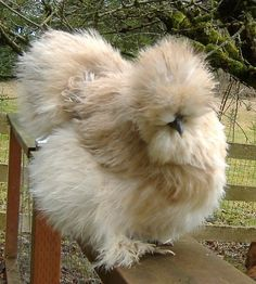 amazing little silkie buck Pretty Birds, Beautiful Birds, Animals Beautiful, Bantam Chickens, Chickens And Roosters, Fancy Chickens, Chickens Backyard, Farm Animals, Animals And Pets