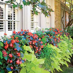 Colorful Fall Landscape: The Window Box   To simplify your window boxes choose carefree plants such as begonia, lantana, sweet potato vine, and geranium.