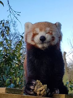 Celebrate Red Panda Day With a Collection Of Adorable Photos - I Can Has Cheezburger? Red Panda Cute, Panda Love, Cute Creatures, Beautiful Creatures, Animals Beautiful, Cute Funny Animals, Cute Baby Animals, Animals And Pets, Panda Day
