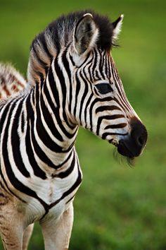 Zebra Foal of Tala Game Reserve