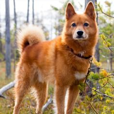 Finnish Spitz grooming, bathing and care Spitz Breeds, Spitz Dogs, All Breeds Of Dogs, Rare Dog Breeds, Rare Dogs, Healthy Pets, Hunting Dogs, Family Dogs, Four Legged