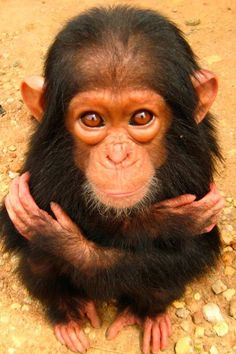 Such a sweet infant chimpanzee, they are the closest to humans in their brain and behavior,  for more different awesome pictures go here,  http://500px.com/NinaohmanOjeda