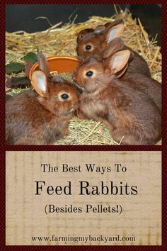 How should you feed your rabbits? There is a lot of conflicting information! But don't be scared to experiment. Here are some various ways to feed rabbits.