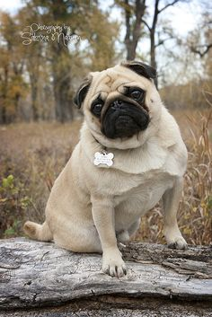 """""""Thank God for horny pugs."""" - Trophy Husband by Lauren Blakely. Seriously, like my favorite line from the book!"""