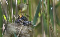 Reed warbler (Acrocephalus scirpaceus) feeding 12-day-old chick of European cuckoo (Cuculus canorus) in its nest, East Anglian Fens, Norfolk. Photographer David Tipling comments: Sitting in a cramped hide with water running into my wellies I've got to tell you this wasn't fun, but witnessing the bizarre hijacking of this reed warbler nest by an oversized cuckoo chick, noisy and continually hungry, made the discomfort worthwhile. Did you know? Each season a female cuckoo will lay between 12…