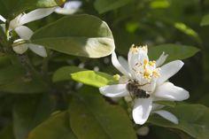 bee on a Lemon blossom