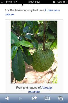 Graviola  Tree
