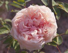 """""""Arcadia Louisiana Tea"""" Rose"""