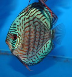 brilliant turquoise discus - Google Search