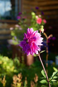 Цветы за окном. flowers, #summer, #nature #photoirinamaysova #dahlias #dahlias