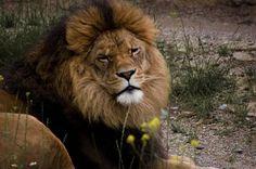 Лев Иуды, 猶大的獅子, 유다의 사자, ライオンユダの, Lion of Judah, यहूदा के शेर, Lyon ki soti nan peyi Jida, Juudan leijona, León de Xudá, Леў Юды, Leeu van Juda, Yehuda Lion, Lav iz Judina, Առյուծի Յուդայ, Lion de Juda, Löwe Judas, Λιοντάρι του Ιούδα, Singa Yehuda,  شیر یهودا أسد يهوذا אריה יהודה