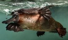 Platypus - feeling right at home @ Healesville Sanctuary